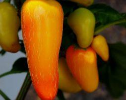 NuMex Pinata Chilli Seeds