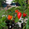 Malawi Piquante(Peppadew) Chilli Seeds