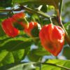 7 Pot Rennie Chilli Seeds