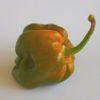 7 Pot Congo SR Gigantic Mustard