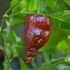 Black Naga Chilli Seeds