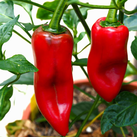 Espelette Chilli Seeds
