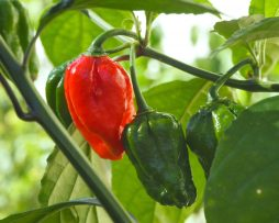 Red Fatalii Chilli Seeds