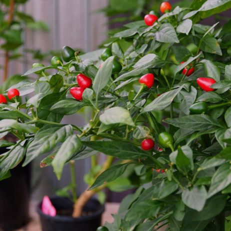 Hot Beads Chilli Seeds