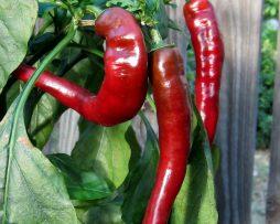Jimmy Nardello Chilli Seeds
