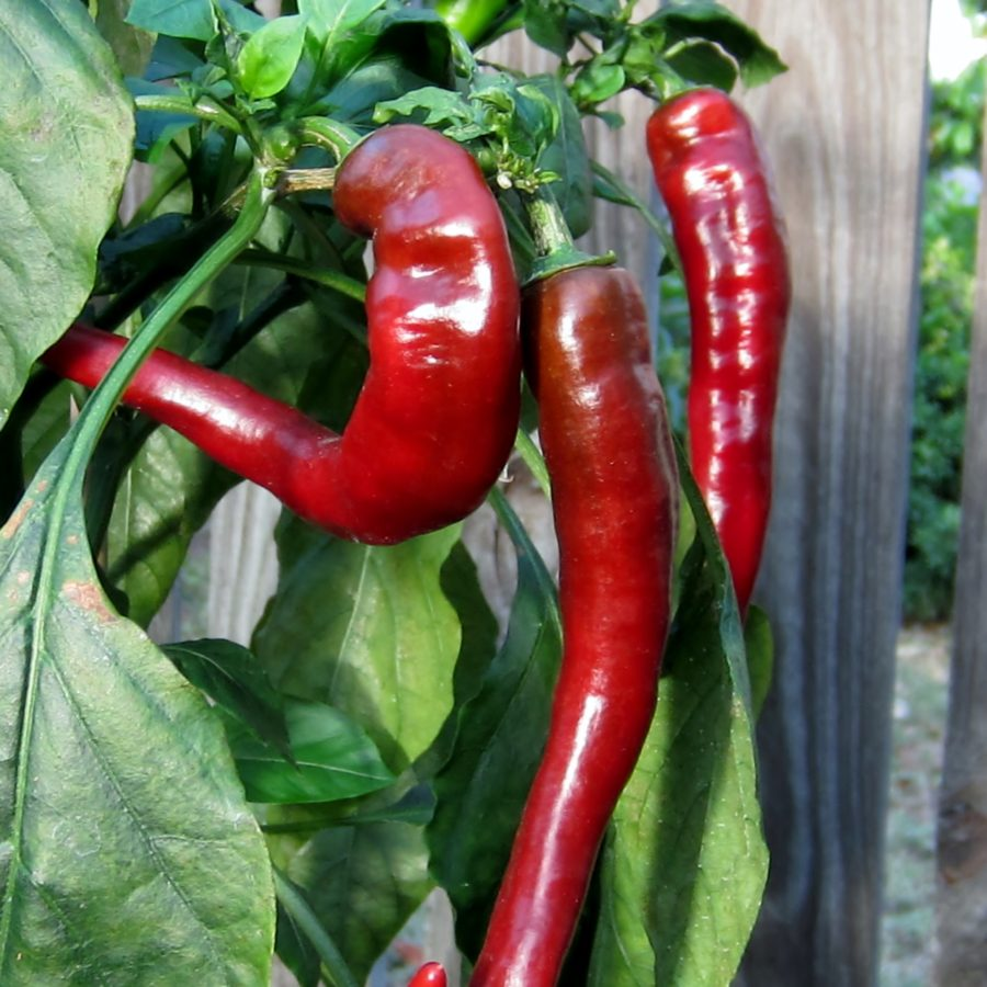 Frying Pepper Pack Chilli Seedz