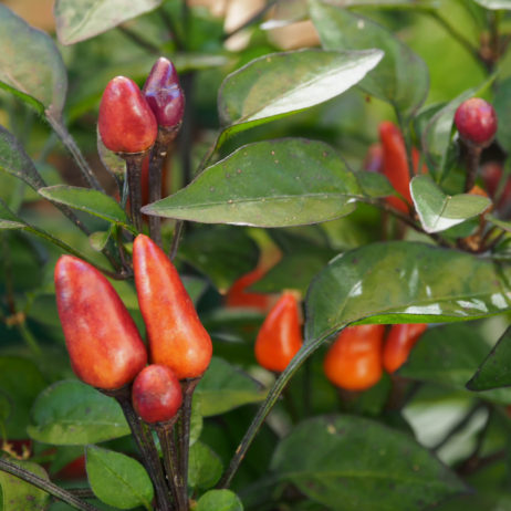 Malaysian Explosive Ember Chilli Seeds