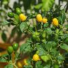 Yellow Jelly Bean Chilli Seeds