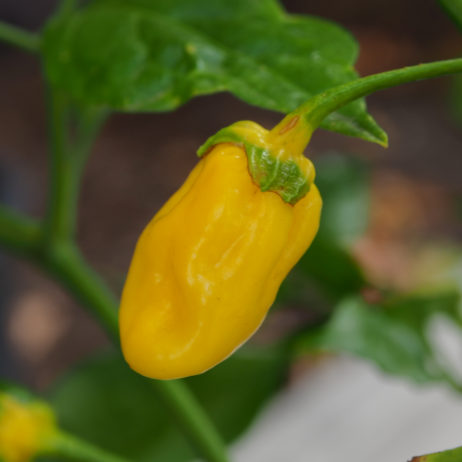 7 Pot Bubblegum Yellow Chilli Seeds