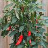 Caysan Chilli Seeds