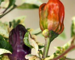 Scarlett Chilli Seeds