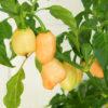 Habalokia Peach Lavalamp