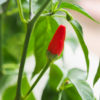 Pequin Chilli Seeds