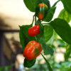 Dal Santo Habanero Chilli Seeds