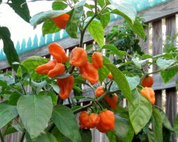 Orange Blob chilli seeds