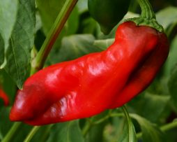 Matay Chilli Pepper Seeds