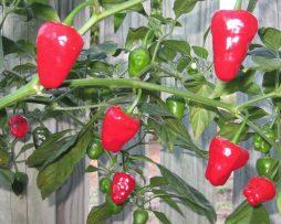 Hinkelhatz Chilli Seeds