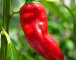 Broome Chilli chilli seeds