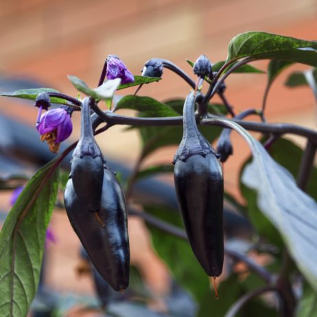Count Dracula Chilli Seeds