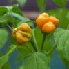 Aji Mango Chilli Seeds