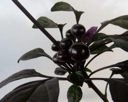 Black pearl chilli seeds