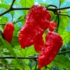 Black Panther chilli seeds