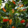 Sweet Pickles Chilli Seeds