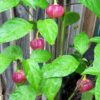 CGN 21500 Chilli Seeds