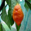 Black Panther Orange chilli seeds