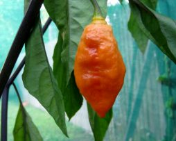 Black Panther Orange chilli seeds