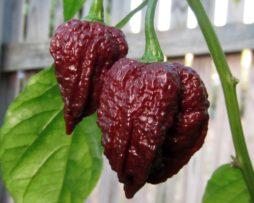 Chocolate Naga Brain chilli seeds Chilli seeds in Australia