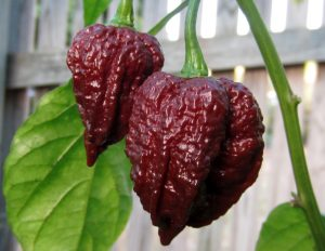 Chocolate Naga Brain chilli seeds