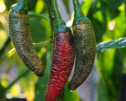 Mini Piperka Chilli Seeds
