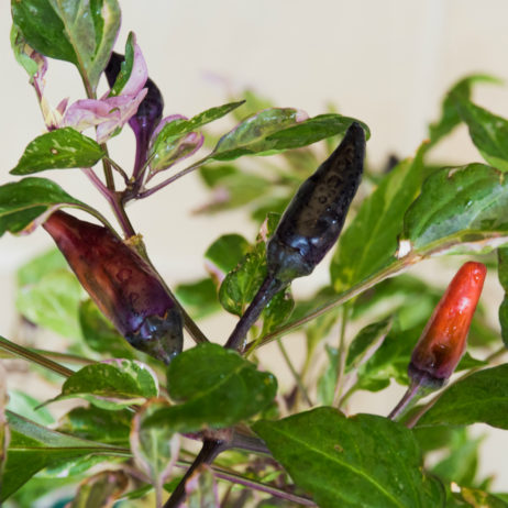Mexican Calico Chilli Seeds