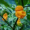 Cili Goronong chilli seeds