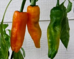 Lucifer's Dream Yellow chilli seeds