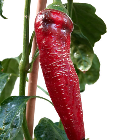 Albanian Red Hot Chilli Seeds