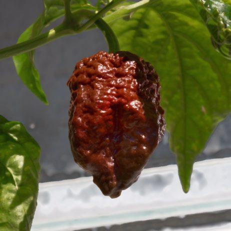 Big Caramel Mama Chilli Seeds