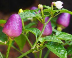 LOCO Chilli Seeds
