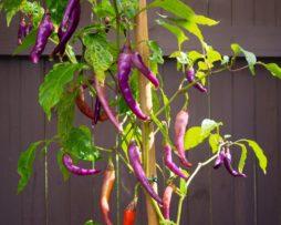 Buena Mulata Chilli Seeds