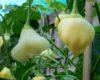 Aji White Fantasy chilli seeds