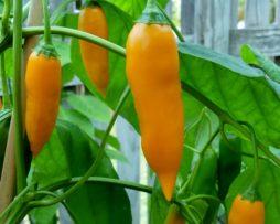Giallo Arancio chilli seeds