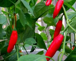 Aji Duke chilli seeds
