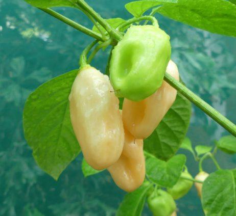 Pink Habanero chilli seeds