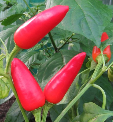 Purira chilli seeds