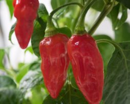 Devils Rib Chilli Seeds