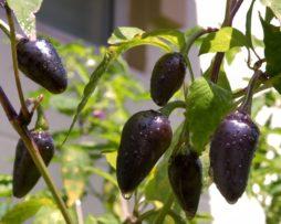 Purple Jalapeno Chilli Seeds