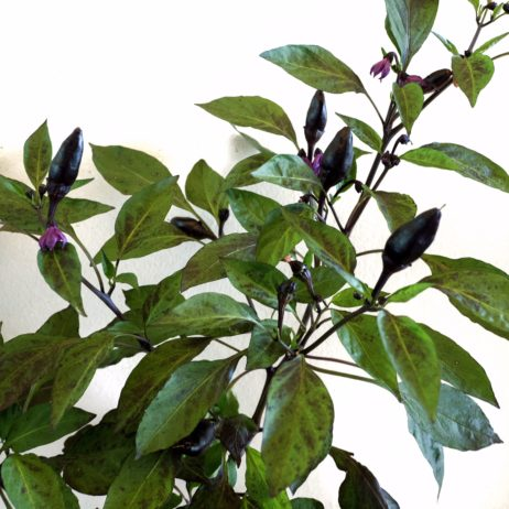 Bellingrath Gardens Chilli Seeds