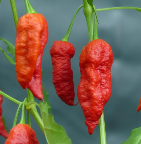 Choc Bhut X 7 pot Yellow Chilli seeds