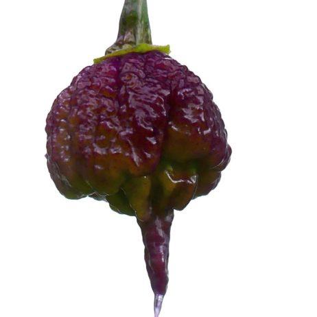 Purple Reaper Chilli Seeds